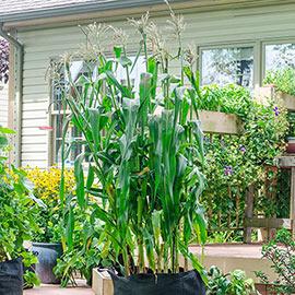 Utopia Hybrid Sweet Corn (sy)