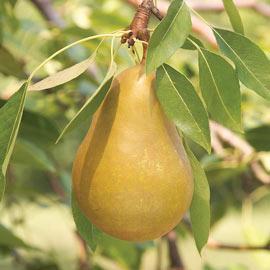 Pear Honeysweet