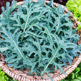 Jagallo Nero Kale