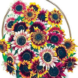 Bohemian Rhapsody Sunflower Mix