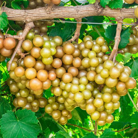 Oh My!® Seedless Grape Vine