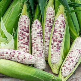 Wild Violet Hybrid Sweet Corn