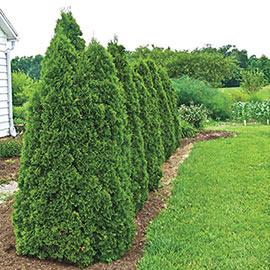 Green Giant Arborvitae Hedge