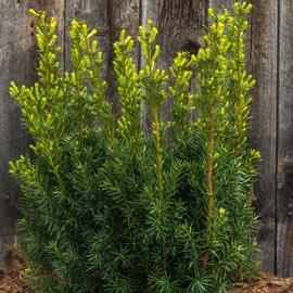 Upright Hicksi Yew Hedge