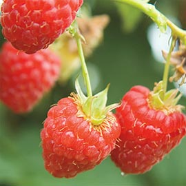 Canby Thornless Raspberry