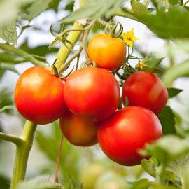 Tomato Blossom Set Spray