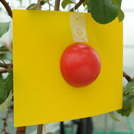 Ladd Apple Maggot Fly Trap & Lure
