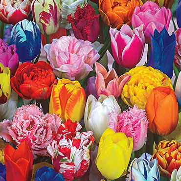 All Spring Tulip Mix