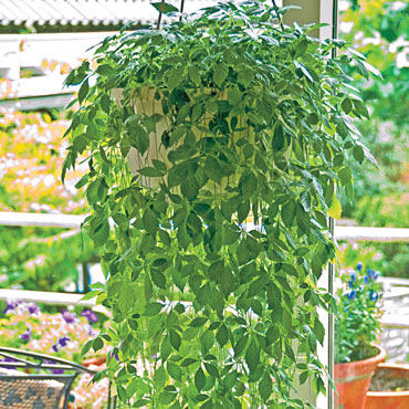Immortality Herb