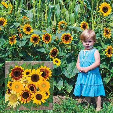 Gurney's<sup>®</sup> Sunny Hedge Blend Sunflower