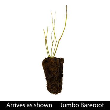 Jersey Jumbo Blueberry