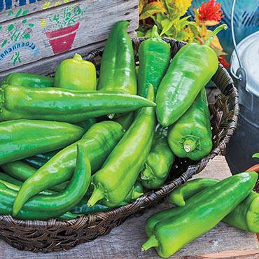 Anaheim 118 Hybrid Hot Pepper