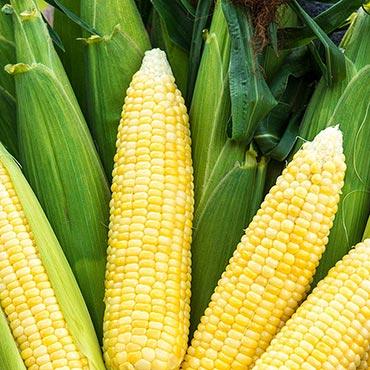 Bodacious RM (se) Hybrid Sweet Corn