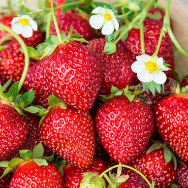 Ozark Beauty Everbearing Strawberry