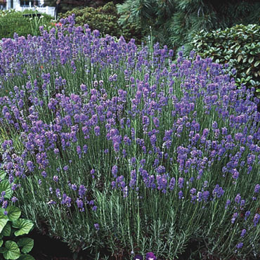Hardy Lavender