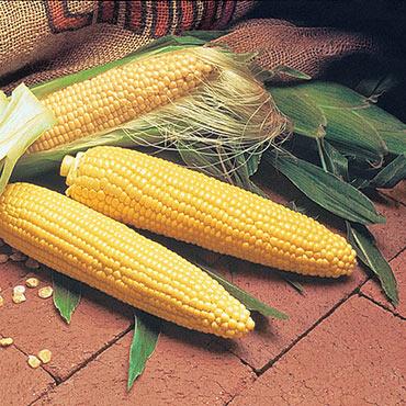 Double Delicious Hybrid Sweet Corn (se)