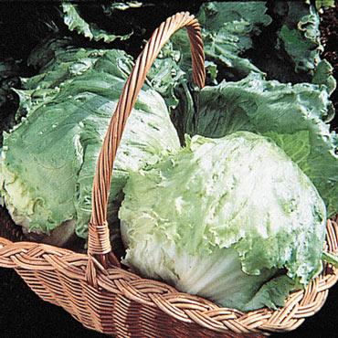Ithaca Head Lettuce
