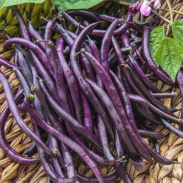 Purple Queen Improved Bush Bean
