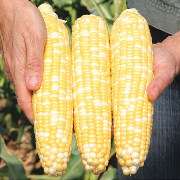 Gotta Have It<sup>®</sup> Hybrid Sweet Corn