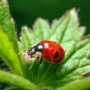 Sta-Home<sup>™</sup> Lady Beetles