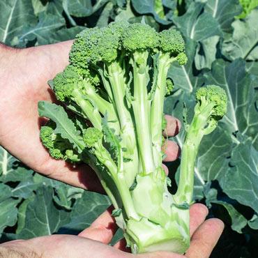 Montebello Hybrid Sprouting Broccoli Pkt