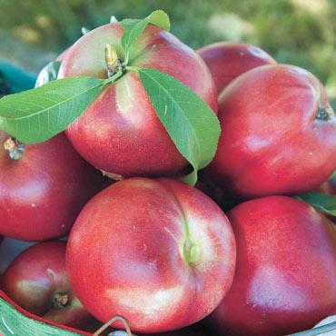 Yumm Yumm Nectarine Tree
