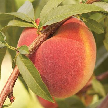 Contender Peach Reachables<sup>®</sup>