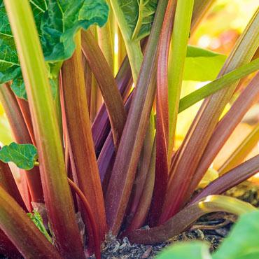 Glaskin's Perpetual Rhubarb
