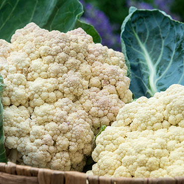 Snow Crown Hybrid Cauliflower