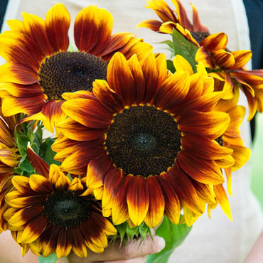 Sunflower Ruby Passion