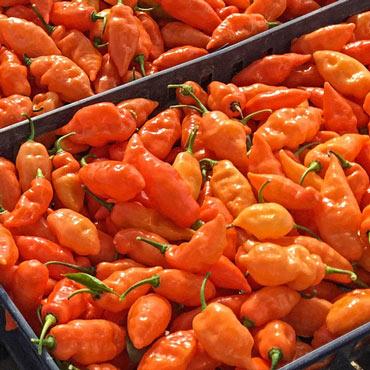 Habanada Sweet Pepper