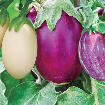 Stars & Stripes Hybrid Blend Eggplant
