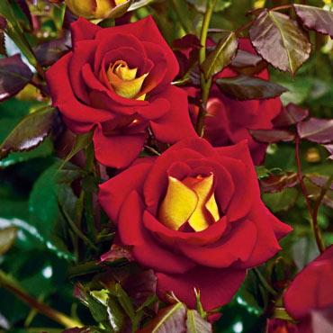Ketchup & Mustard<sup>™</sup> Floribunda Rose