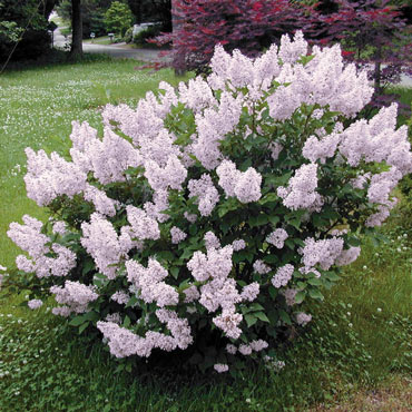 Miss Kim Jumbo Lilac Hedge