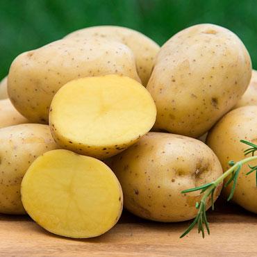 Yukon Gold Potato