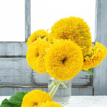 Sunflower Golden Bear Pkt