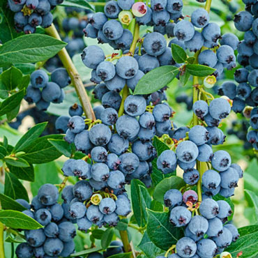 Echo Blueberry