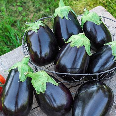Midnight Queen Hybrid Eggplant