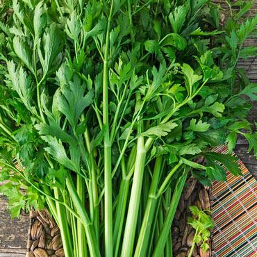 Titus Hybrid Celery