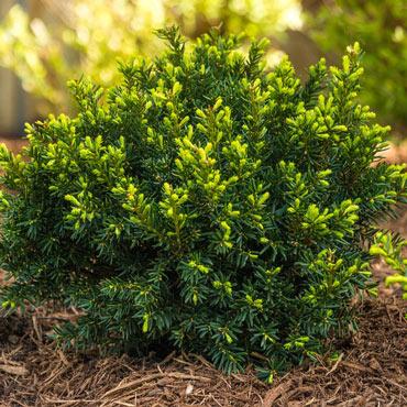 Dark Green Spreader Yew