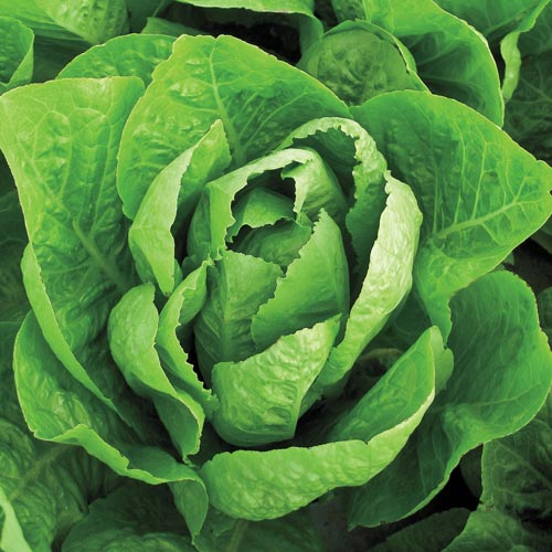 how to cut romaine lettuce in garden
