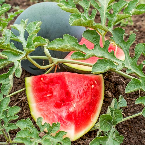 Seedless Wonder™ Watermelon Hybrid