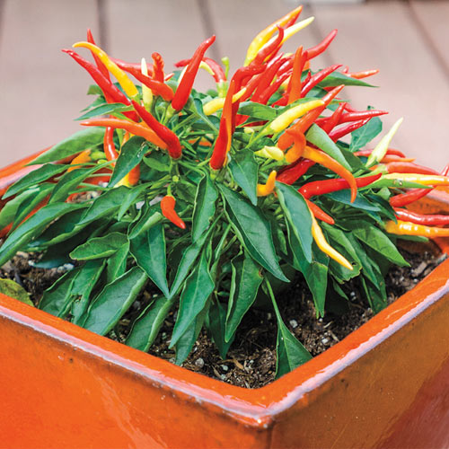 Container Patio Fire Pepper