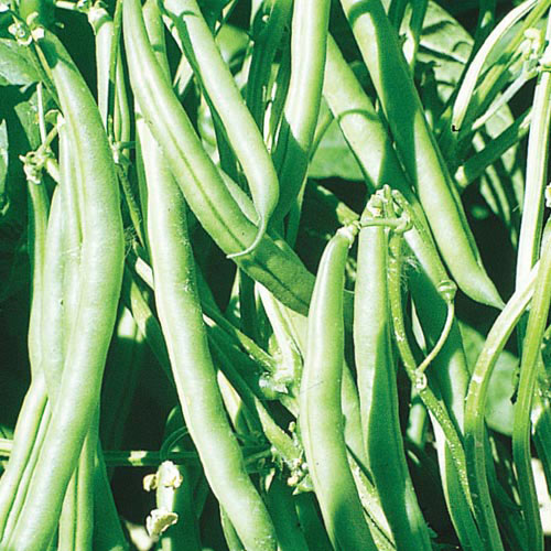 Organic Kentucky Wonder Snap Pole Bean