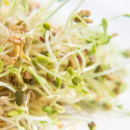 Organic Ancient Eastern Blend Sprouts