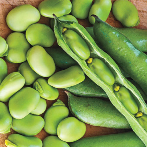 Container Robin Hood Broad Bean