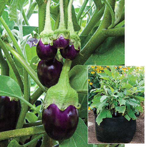 Container Pot Black Eggplant