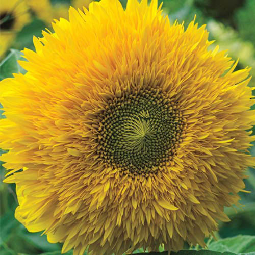 Organic Sungold Sunflower
