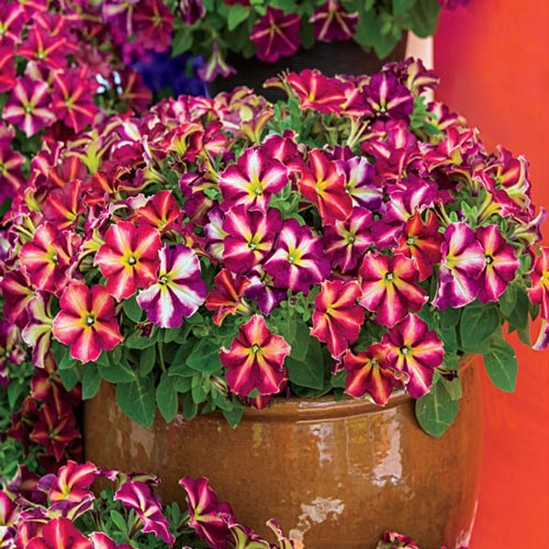 Flowers Alive!™ for Annuals
