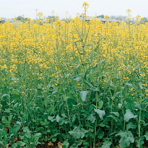 Canola Cover Crop